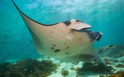 Snorkel with Manta Rays Coral Bay
