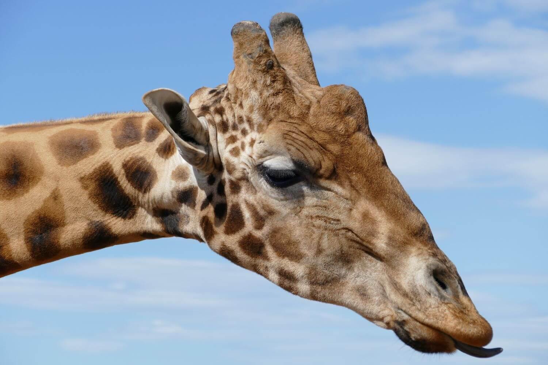 Monarto Zoo Adelaide Giraffe