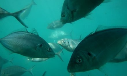 Tuna Swim Victor Harbor