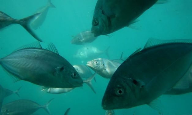 Tuna Swim Victor Harbor