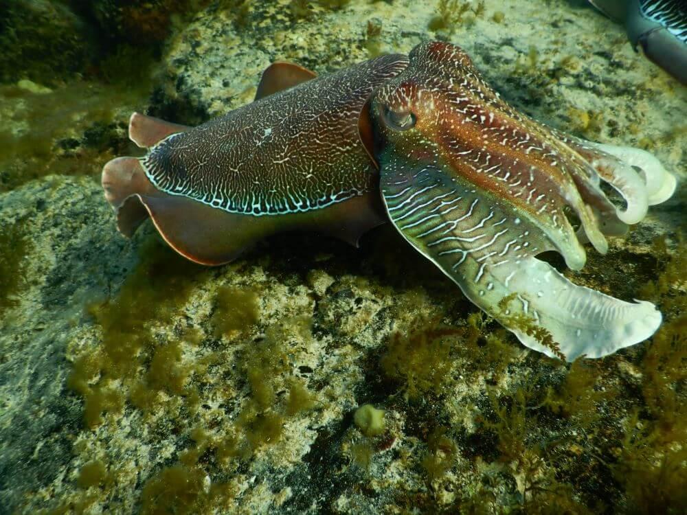 Whyalla Cuttlefish