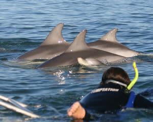 Glenelg Dolphin Swim
