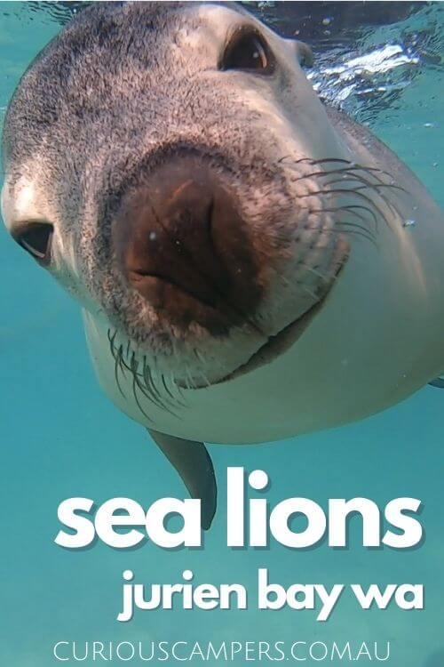 Jurien Bay Sea Lions