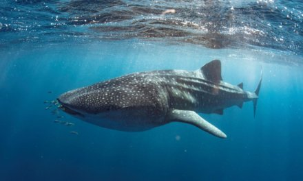 Swim with Whale Sharks in Exmouth