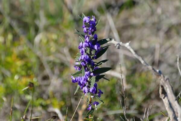 Geraldton Wildflowers